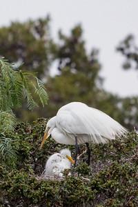 Great Egret nest Newark, California 1405N-GE15