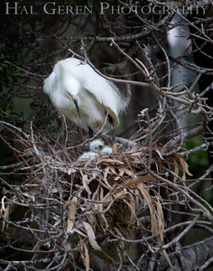 Snowy Egret Nest Newark, California 1405N-SE16