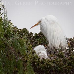 Great Egret nest Newark, California 1405N-GE6N