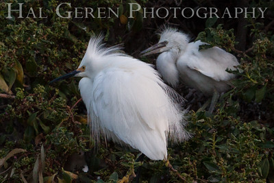 Snowy Egret Male and Young Fledglinig Newark, California 1405N-SE10
