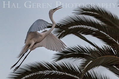Great Egret Takeoff Newark, California 1405N-GE12