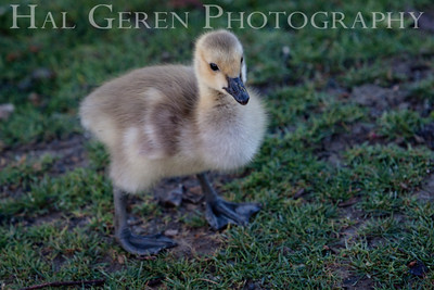 Duckling Newark, California 1405N-D3