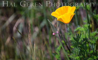 California Poppy Elkhorn Slough, California 1503D-P1