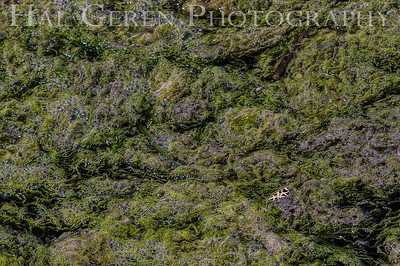 Algae Mat with Butterfly Wing Elkhorn Slough, California 1503D-A1