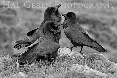An Unkindness of Ravens Point Reyes, California  1703PR-B4BW1CR