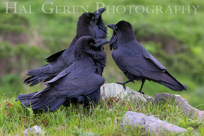 An Unkindness of Ravens Point Reyes, California  1703PR-C4