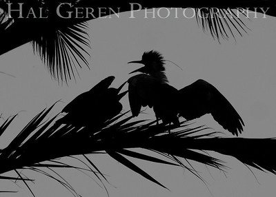 Black Crowned Night Heron Juvenile Silhouettes Newark, California 1304N-BS4BW1