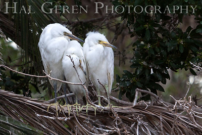 Great Egret Fledglings Newark, California 1304N-GE16F