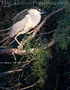 Black Crowned Night Heron  Newark, California 1304N-B6