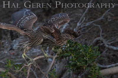 Black Crowned Night Heron Fledglings Newark, California 1304N-BF2