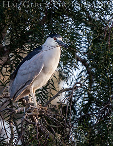 Black Crowned Night Heron with nesting materials Newark, California 1304N-B5SNP