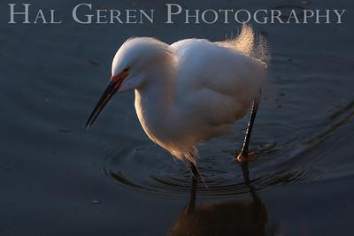 Snowy Egret Newark, California 1304N-SE24