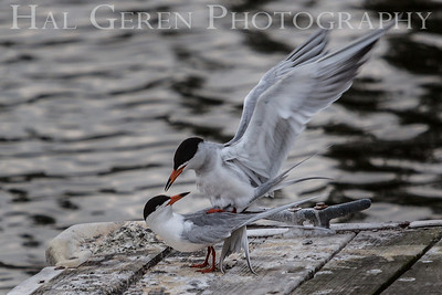 Least Tern love Newark, California 1304N-LTL1