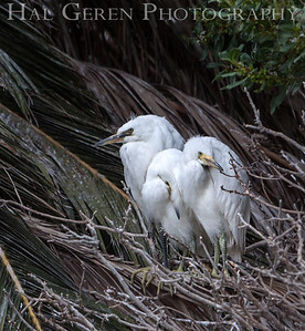 Snowy Egret Fledglings Newark, California 1304N-SE27F
