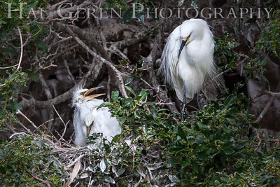Snowy Egret with Fledglings Newark, California 1304N-SE28F