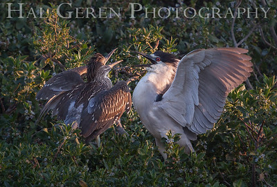 Black Crowned Night Heron Fledglings Begging for Food Newark, California 1304N-BWF3