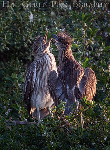 Black Crowned Night Heron Fledglings Newark, California 1304N-BF1