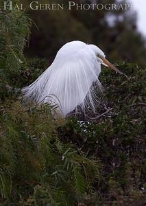 Great Egret Courting Display Newark, California 1304N-GE13D