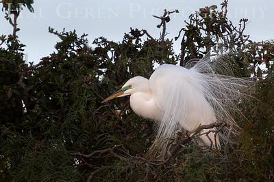 Great Egret Courting Display Newark, California 1304N-GE14D