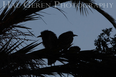 Black Crowned Night Heron Juveniles Silhouette Newark, California 1304N-BS3
