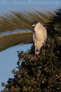 Black Crowned Night Heron  Newark, California 1304N-B1