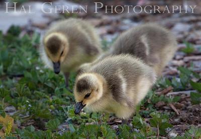 Goslings Newark, California 1304N-G3