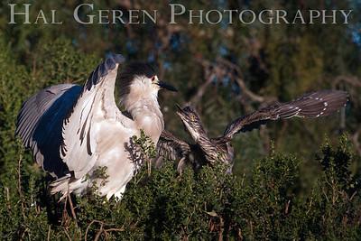 Black Crowned Night Heron Fledgling Begging for Food Newark, California 1304N-BWF9