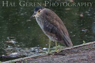 Black Crowned Night Heron Fledgling Newark, California 1304N-BJ7