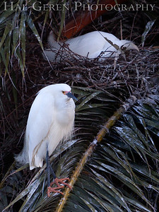 Snowy Egret male with mate on nest Newark, California 1304N-SE3