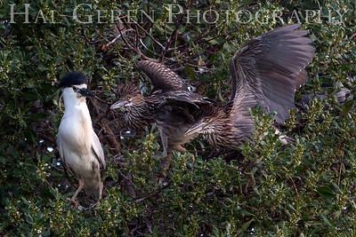 Black Crowned Night Heron Fledglings Begging for Food Newark, California 1304N-BWF7