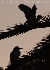 Black Crowned Night Heron Juvenile Silhouettes Newark, California 1304N-BS1