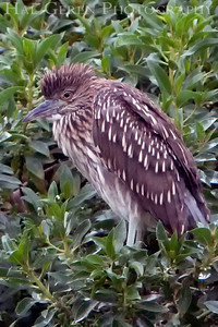 Black Crowned Night Heron Juvenile Lakeshore Park, Newark, California 0906LN-BCNH17