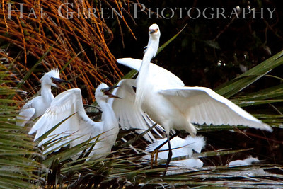Snowy Egrets fledglings begging for food Lakeshore Park, Newark, California 0906LN-SIF1