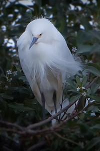 Snowy Egret Lakeshore Park, Newark, California 0905LN-SE5