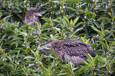 Black Crowned Night Heron Fledglings Lakeshore Park, Newark, California 0906LN-BCNHF2