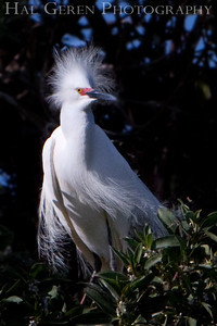 Snowy Egret Lakeshore Park, Newark, California 0905LN-SE6
