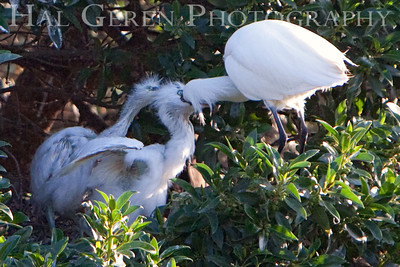 Mother Snowy Egret feeds her fledglings Lakeshore Park, Newark, California 0906LN-SEF2