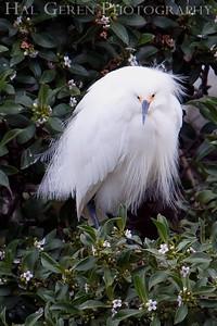 Snowy Egret Lakeshore Park, Newark, California 0906LN-SEF2