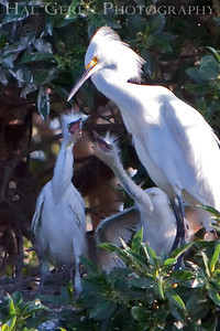 Snowy Egrets begging for food Lakeshore Park, Newark, California 0906LN-SEF3