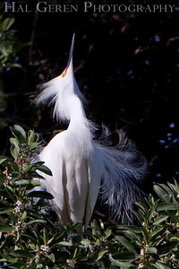 Snowy Egret Lakeshore Park, Newark, California 0905LN-SE2