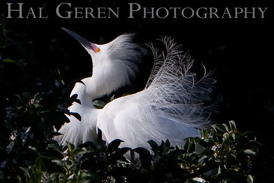 Snowy Egret Lakeshore Park, Newark, California 0905LN-SE4