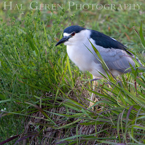 Black Crowned Night Heron Lakeshore Park, Newark, California 1106N-BCNH2