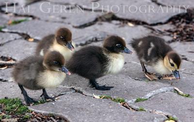 Ducklings Lakeshore Park, Newark, California 1106N-D1
