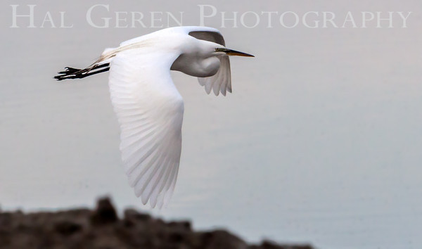 Great Egret in Flight Lakeshore Park, Newark, California 1106N-GEF2