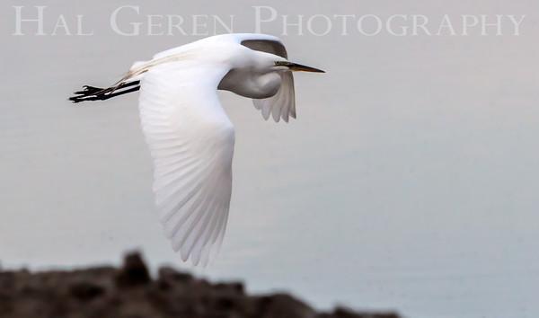 Great Egret in Flight Lakeshore Park, Newark, California 1106N-GEF2