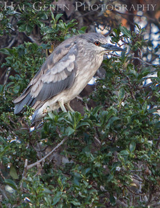 Black Crowned Night Heron juvenile just getting its adult plumage Lakeshore Park, Newark, California 1106N-BCNHJ3