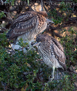 Black Crowned Night Heron Juvenile Lakeshore Park, Newark, California 1106N-BCNHJs1