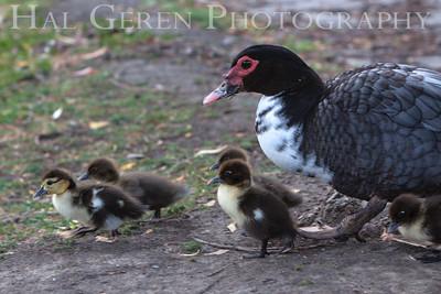 Muscovy Duck and Brood Lakeshore Park, Newark, California 1106N-MDAB3