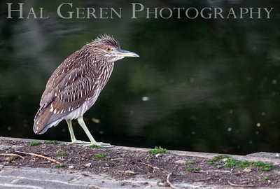 Black Crowned Night Heron Juvenile Lakeshore Park, Newark, California 1106N-BCNHJ2