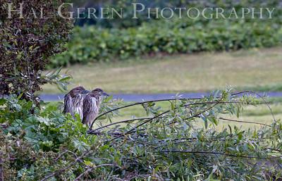 Black Crowned Night Heron Juvenile Delinquents Lakeshore Park, Newark, California 1106N-BCNHJD1